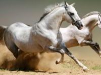 animals,horses animals horses 1366x768 wallpaper – animals,horses animals horses 1366x768 wallpaper – Horses Wallpaper – Desktop Wallpaper