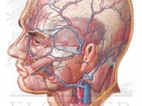 Arteries and Veins of the Scalp - Netter Medical Illustrations