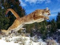 Puma.jpg (??????????? JPEG, 800×500 ????????)