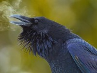 Stunning Image of an American Crow - Imgur