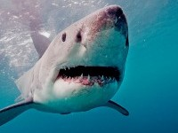 Great White Shark by Maritime Aquarium / MADISHY