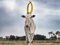Daniel Naudé Captures A Celebration Of The Sacred Cattle