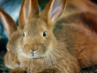 Free Images : animal, cute, looking, wildlife, pet, fur, portrait, fluffy, mammal, ear, rodent, fauna, hare, whiskers, furry, ears, vertebrate, easter, bunny, domestic rabbit, rabits and hares, wood rabbit 1920x1280 - - 1253757 - Free stock photos - PxHere